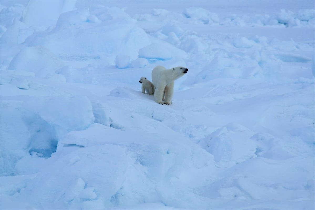 Jääkarhu ja poikanen