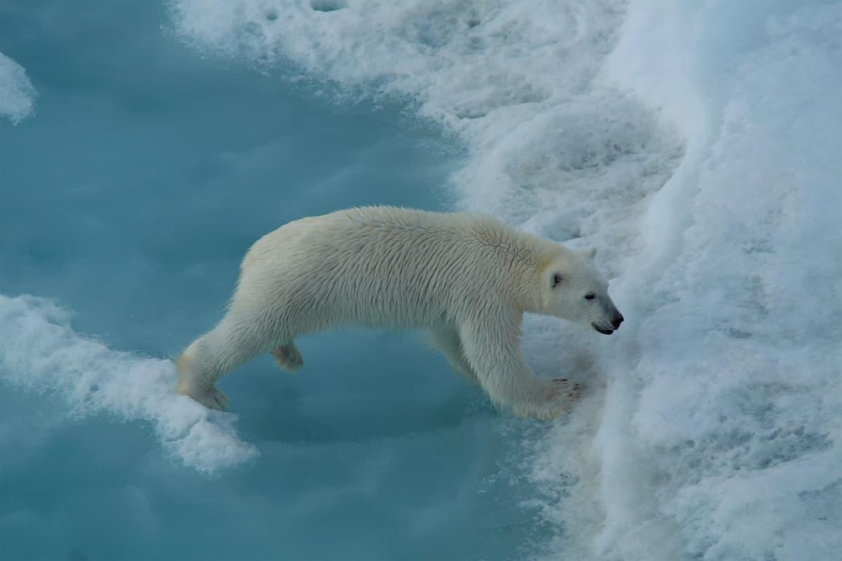Jääkarhu ylittää jäälautalla olevaa sulamislammikkoa.