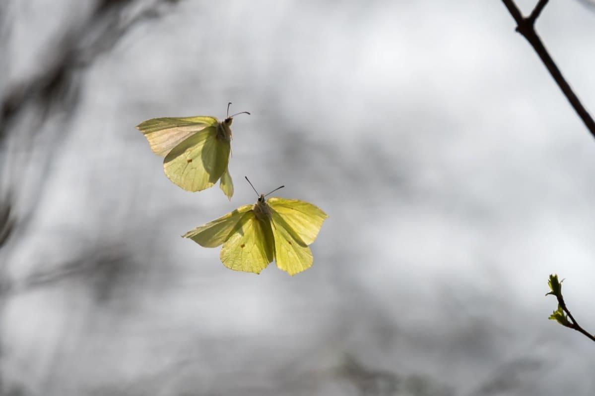 Kaksi keltaista perhosta lentää lehdettömien puunoksien edessä.