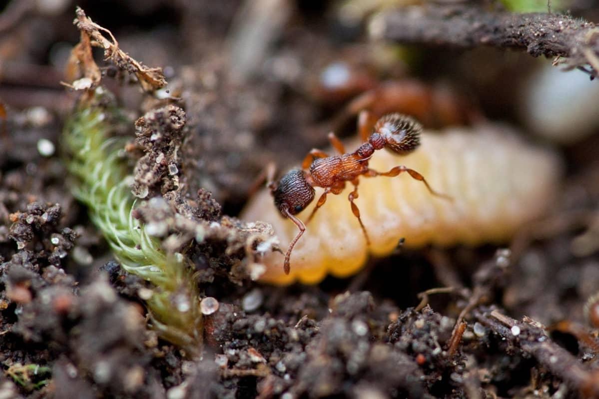 Punertava muurahainen ja pullea valkoinen toukka.