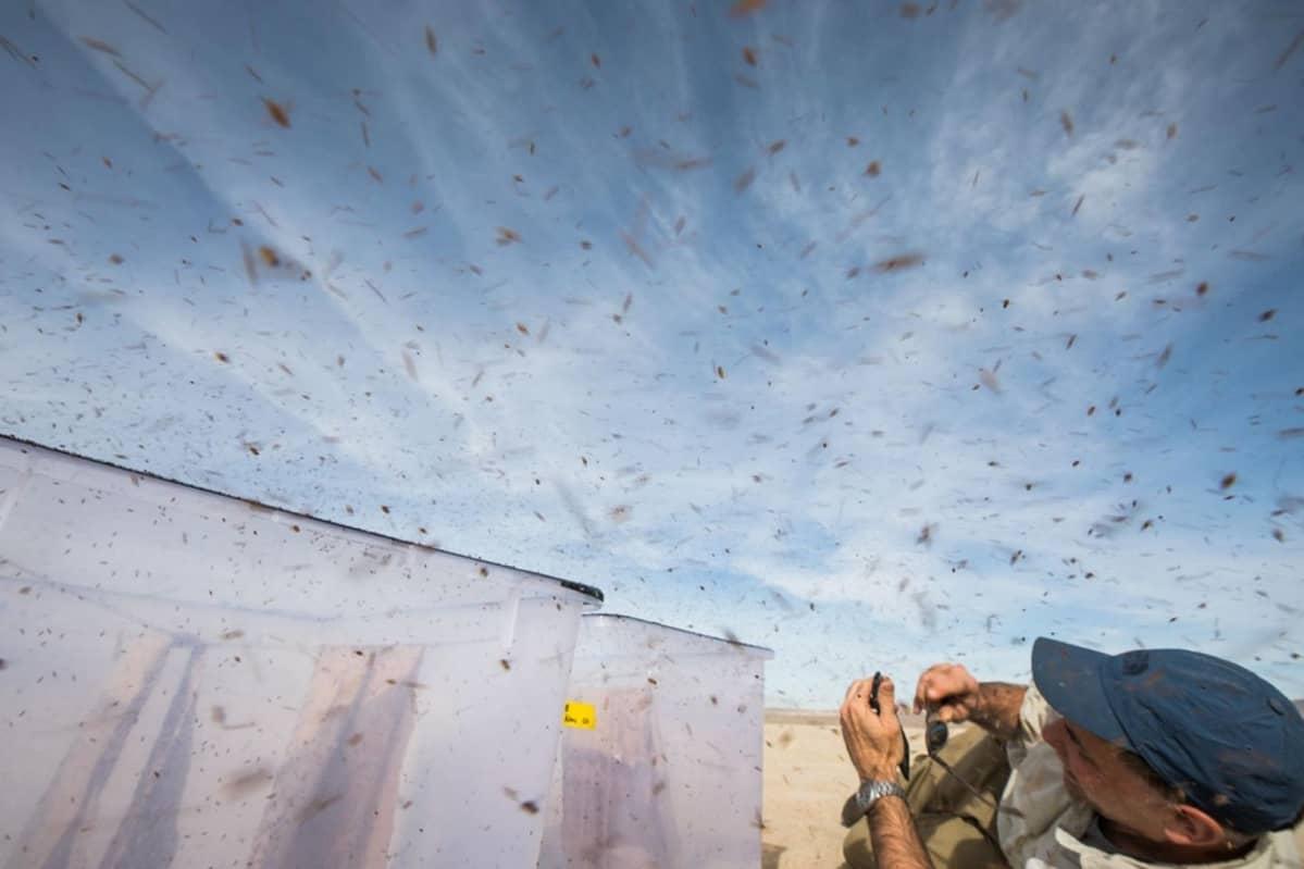 Yläviistosta otettu kuva tutkijasta, jonka yllä lentää tuhansia banaanikärpäsiä.
