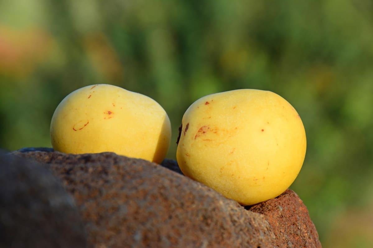 Kaksi vaaleankeltaista hedelmää.