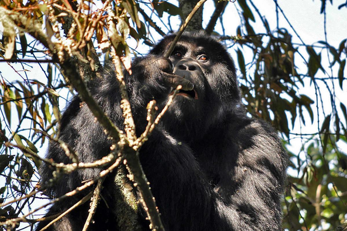 Gorilla ruokailee puussa