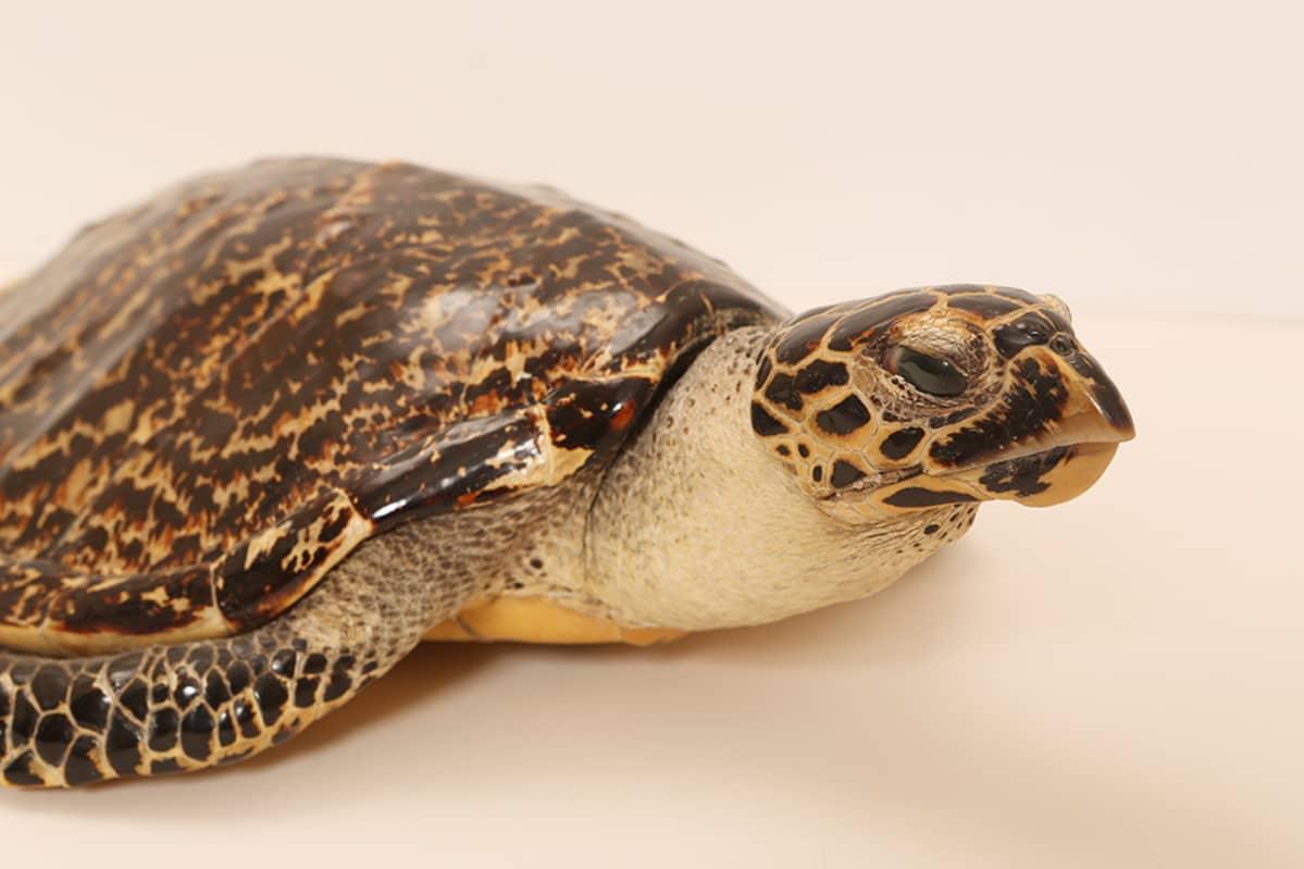 Tullin takavarikoima kilpikonna.