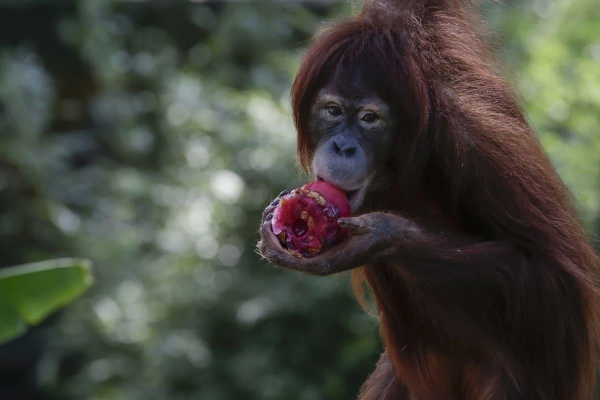 Oranki syö punaista hedelmää.