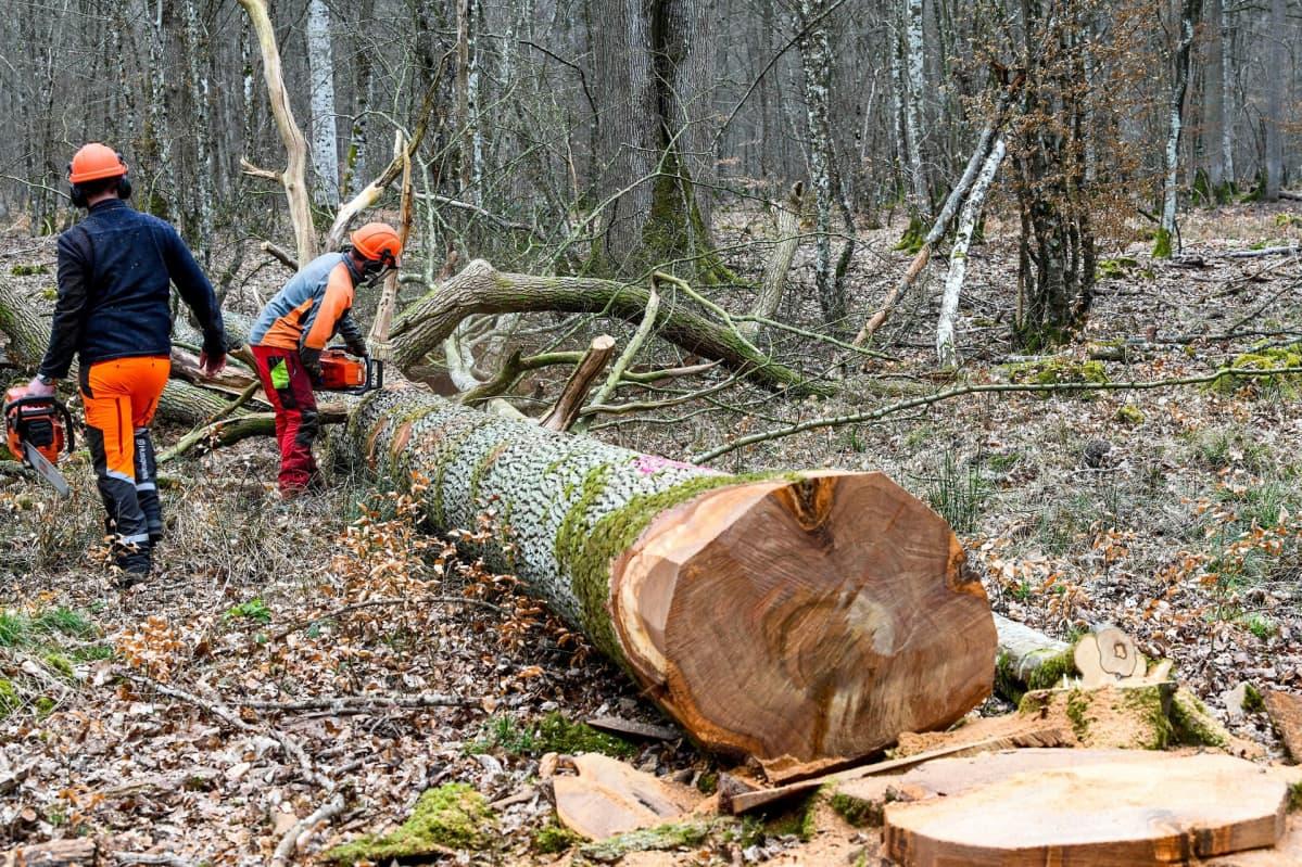 Metsurit kaatamassa tammea