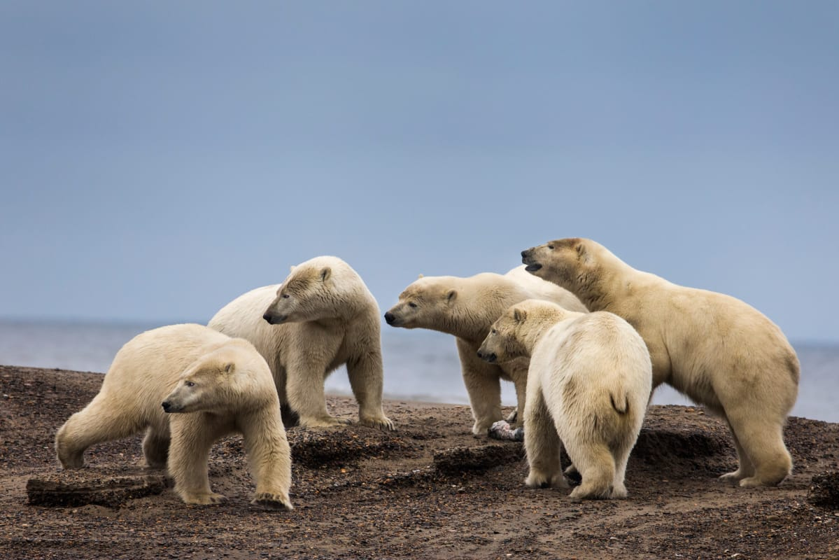 Jääkarhut Alaskassa