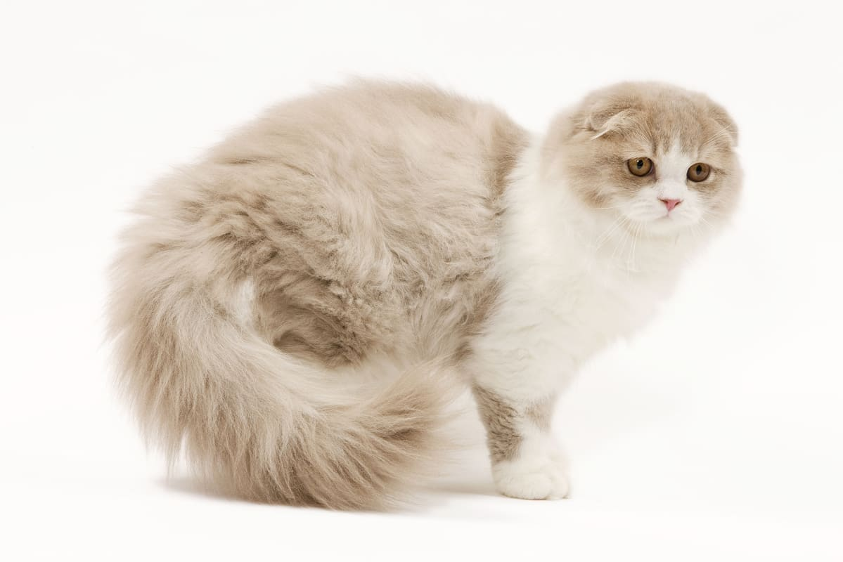 Scottish Fold -rotuinen kissa