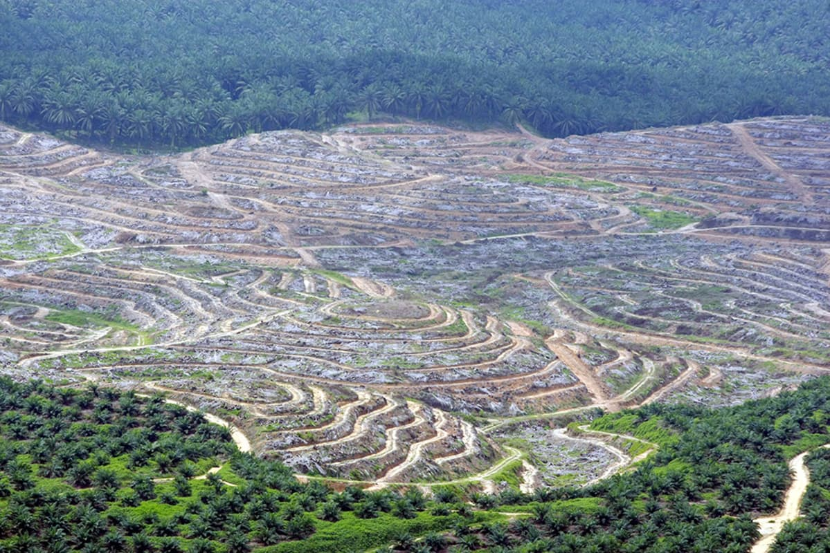 Kaadettua  sademetsää ja öljypalmuviljelmiä