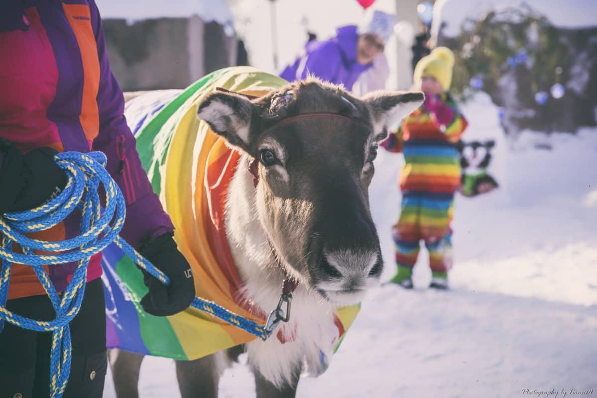 Aatu poro Arctic Pride