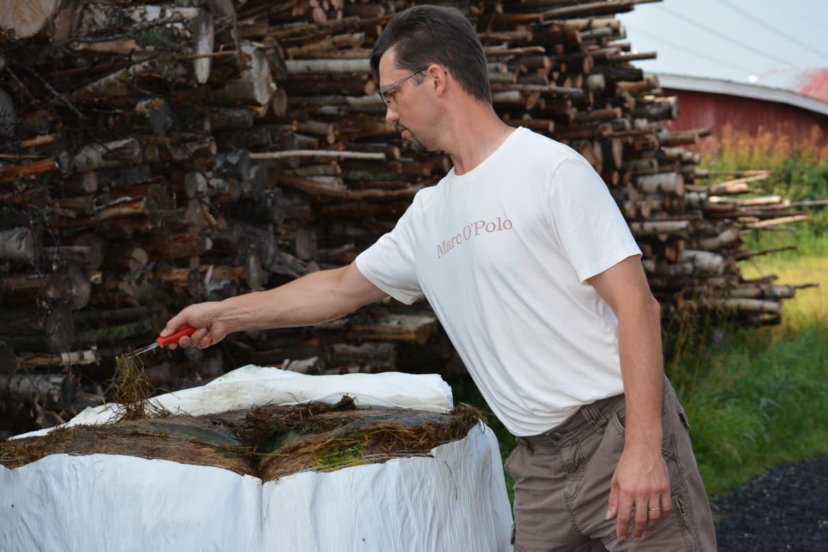 Maatalousyrittäjä Kyösti Yli-Karjanmaa näyttää, miten rehu on pilaantunut naakkojen rikki repimässä paalissa.