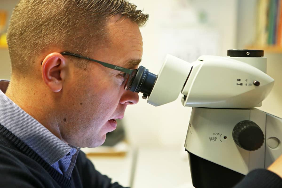 Sääksjärvi katsoo mikroskoopilla loispistiäistä.