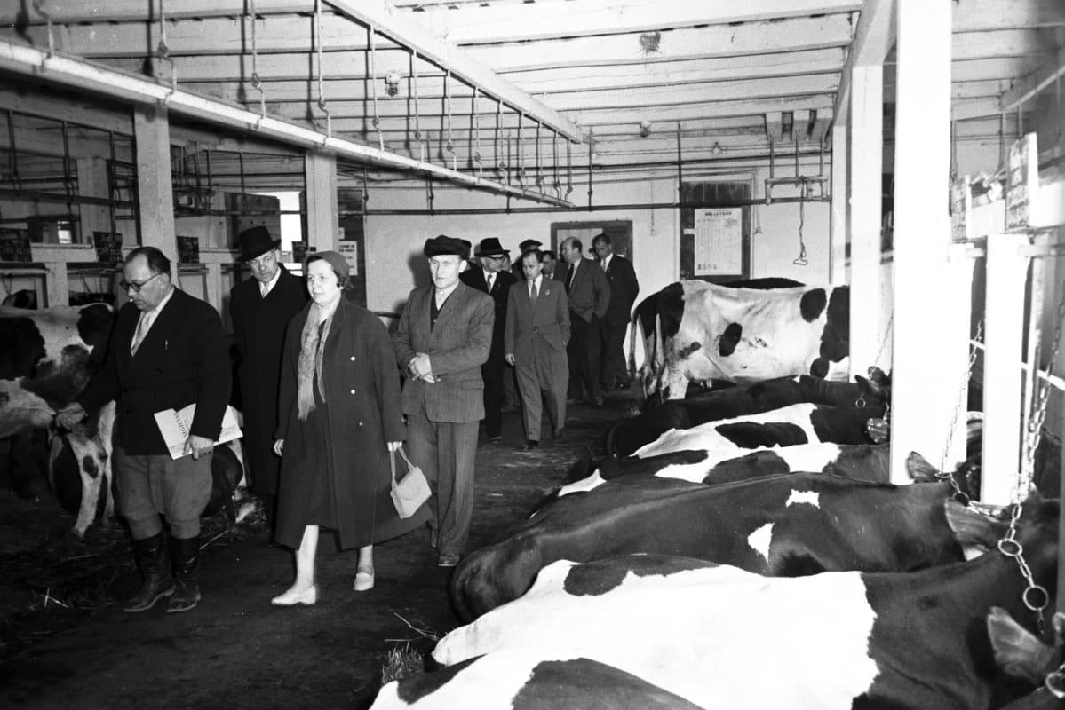 Suomen kommunisteja tutustumassa kolhoosissa karjanhoitoon vuonna 1960.
