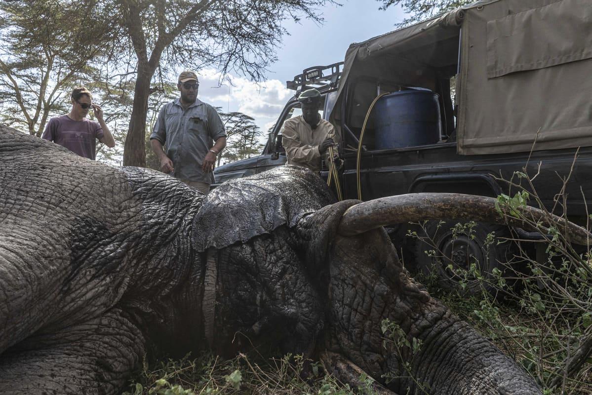 Craig Millar (keskellä) seuraa loukkaantuneen norsun vointia. On selvää, että salametsästys lisääntyy, jos ihmiset menettävät työpaikkojaan, Millar sanoo.