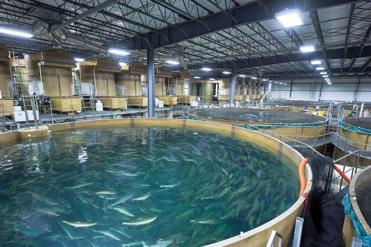 Geenimuunnellut lohet uivat suurissa pyörissä altaissa.
