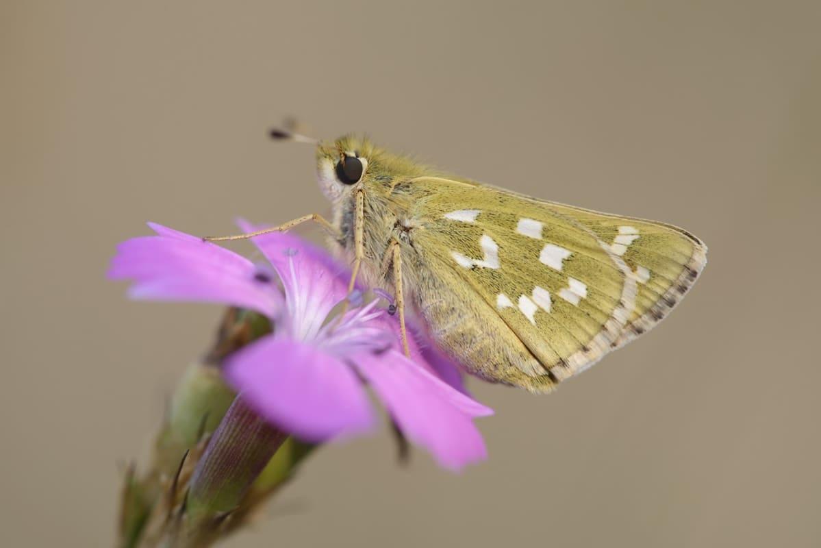 Kellanruskea perhonen, jonka siivissä on valkoista kuvuiointia, lilan värisellä kukalla.