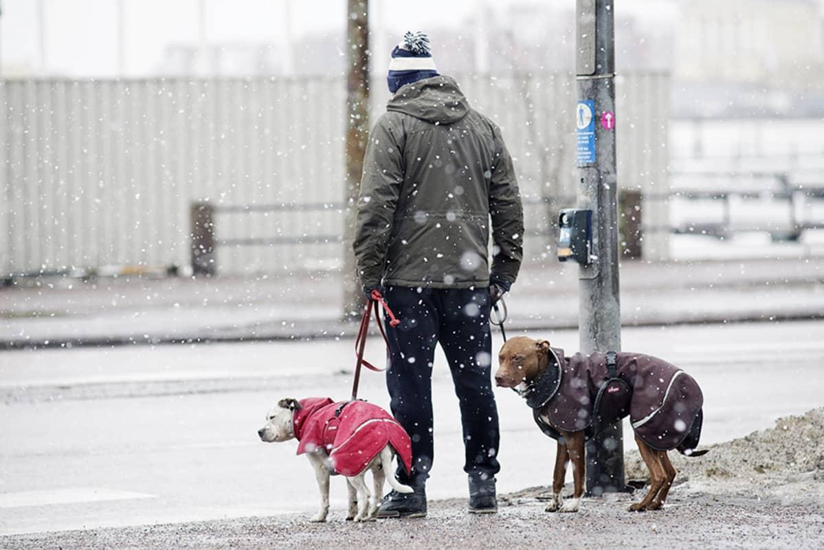 Mies ulkoilutti koiria räntäsateessa 18. helmikuuta.
