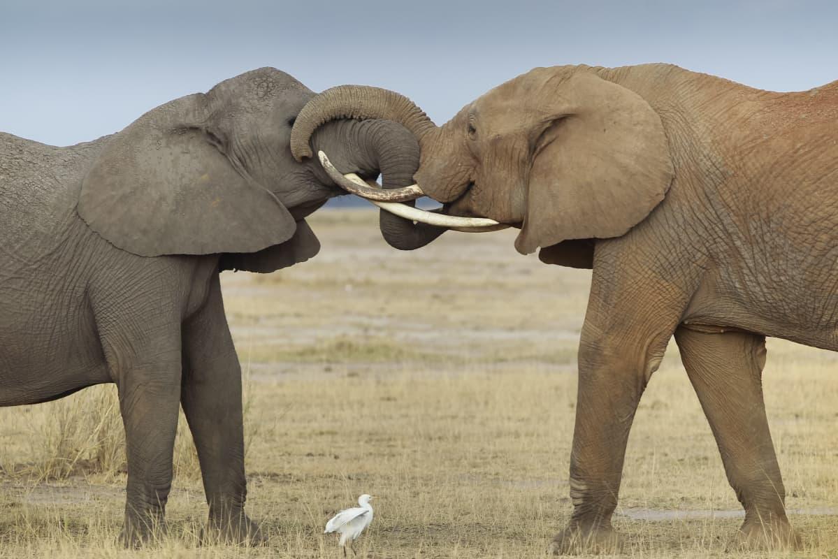 Kaksi norsua syöksyhampaat toisiaan vasten.