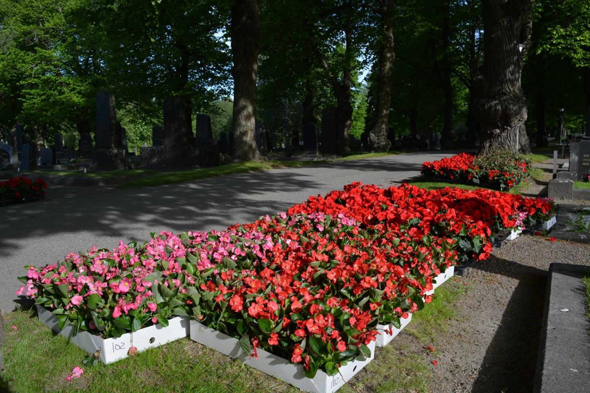 kukkia laatikoissa hautasmaalla