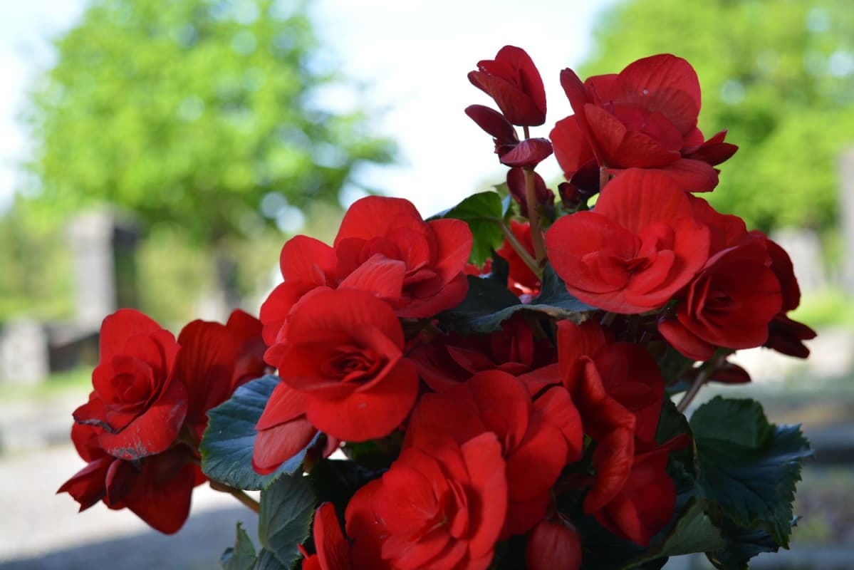 Punainen ruusubegonia