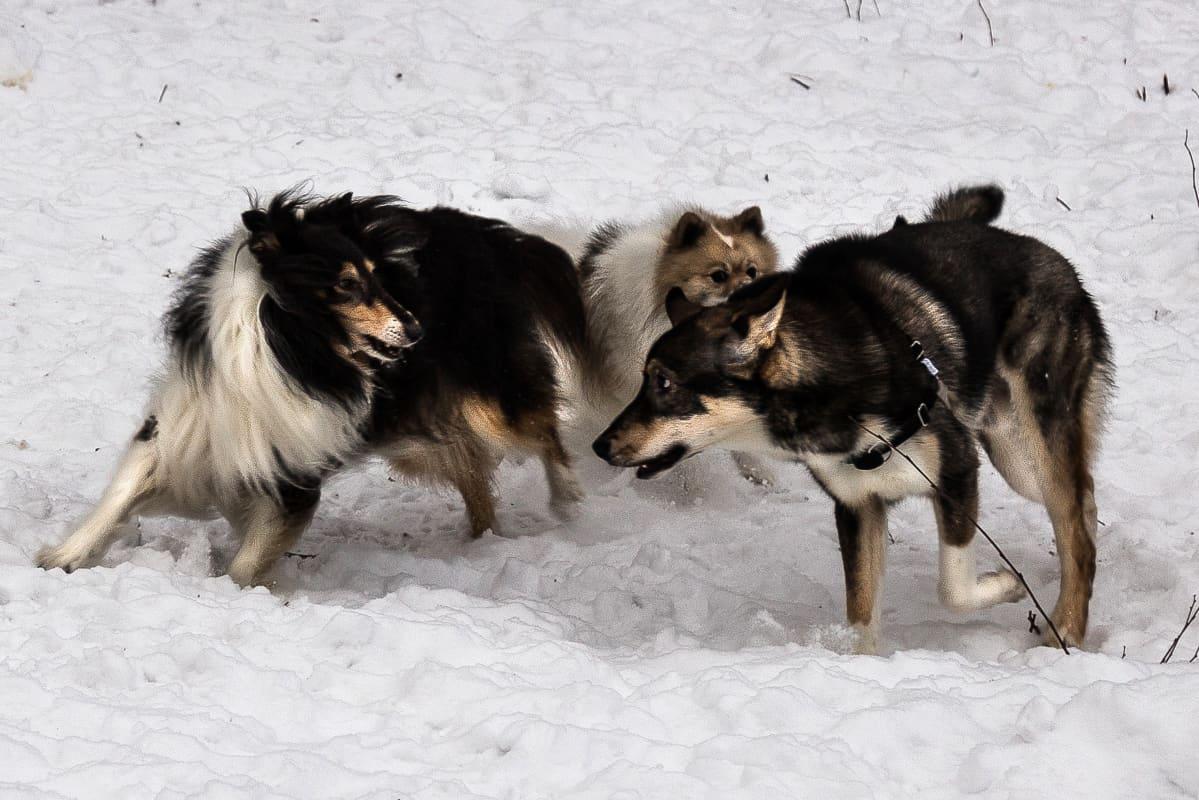 Kolme koiraa leikkimässä koirapuistossa.