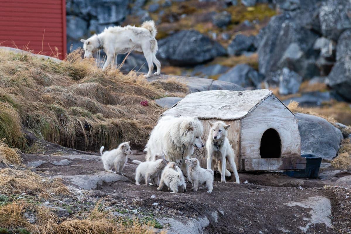 Grönlanninkoiria Grönlannin Ilulissatissa