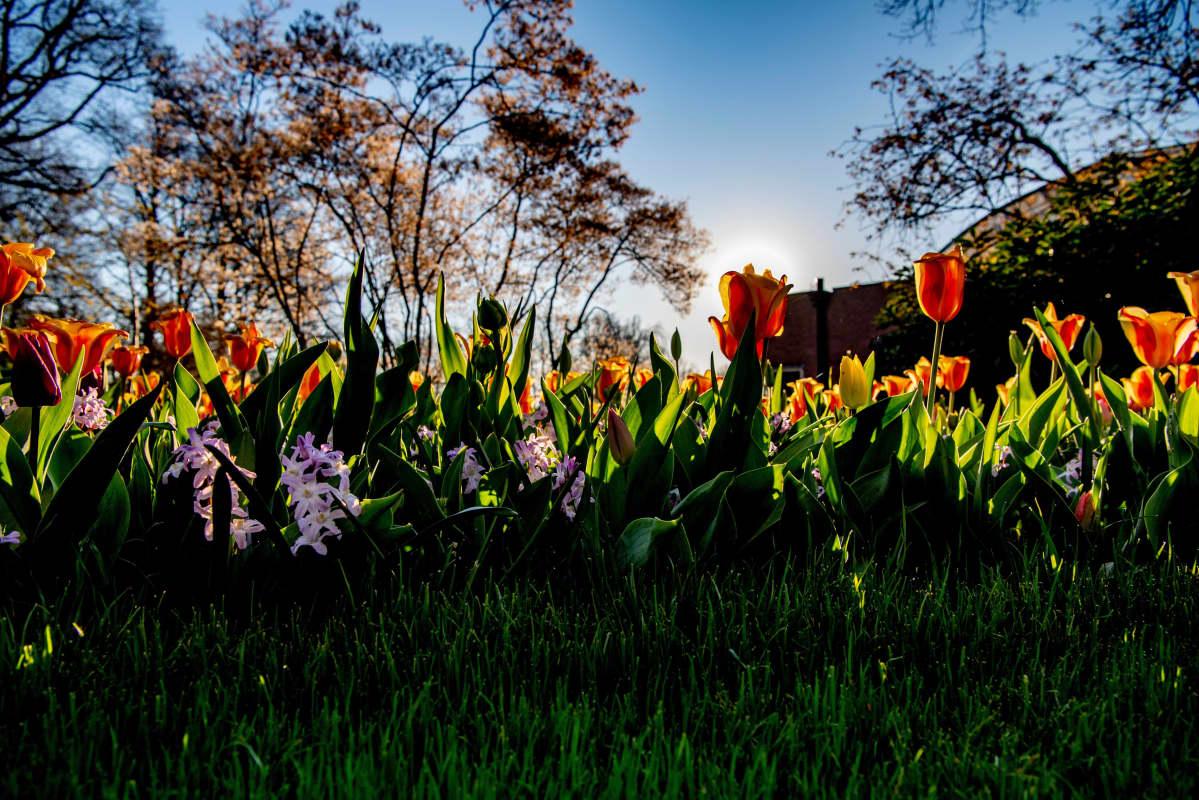 Keukenhofin vuosittainen kukkanäyttely jää tänä vuonna avaamatta yleisölle koronavirustilanteen takia.