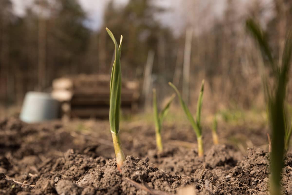 Viljelypalstat tuottavat monen kodin ruokapöytään vihanneksia ja juureksia. Pasilan palstaviljelyt.