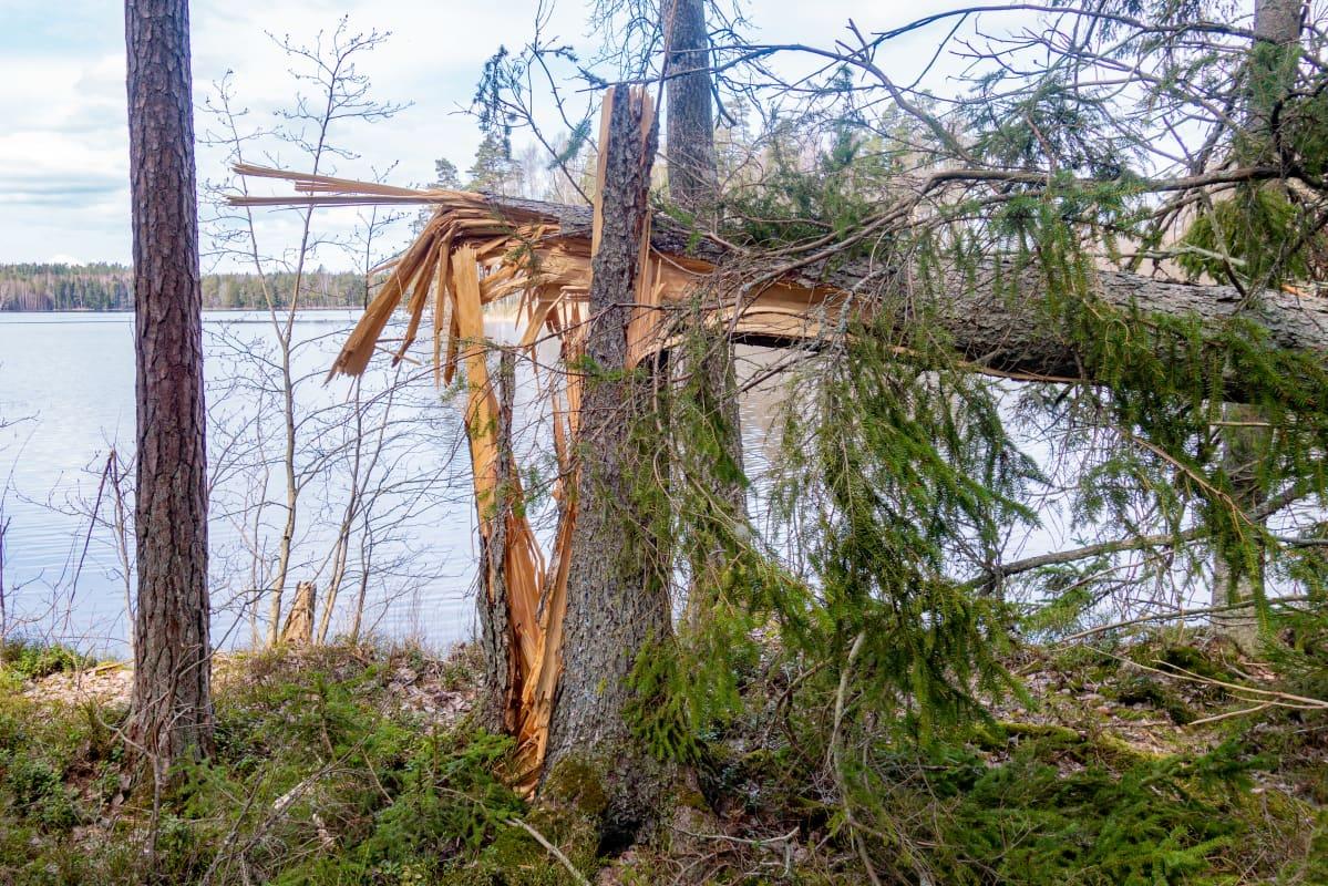 Myrskyn katkaisema kuusi järven rannalla.