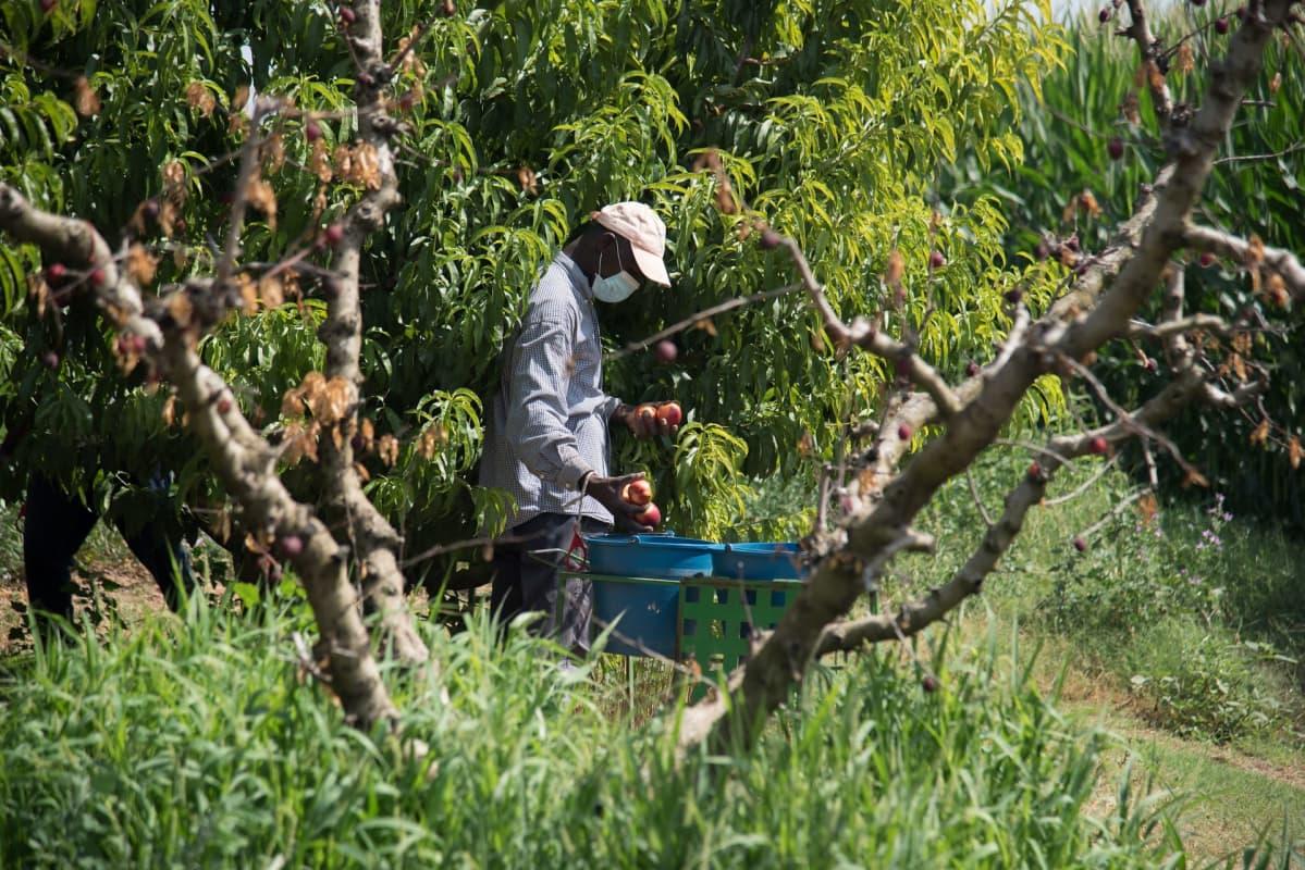 Mies poimii hedelmiä