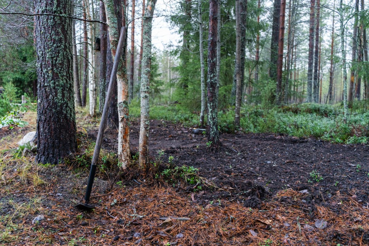 Jari Kropsu on kasvattanut perunaa metsässä Sotkamossa.
