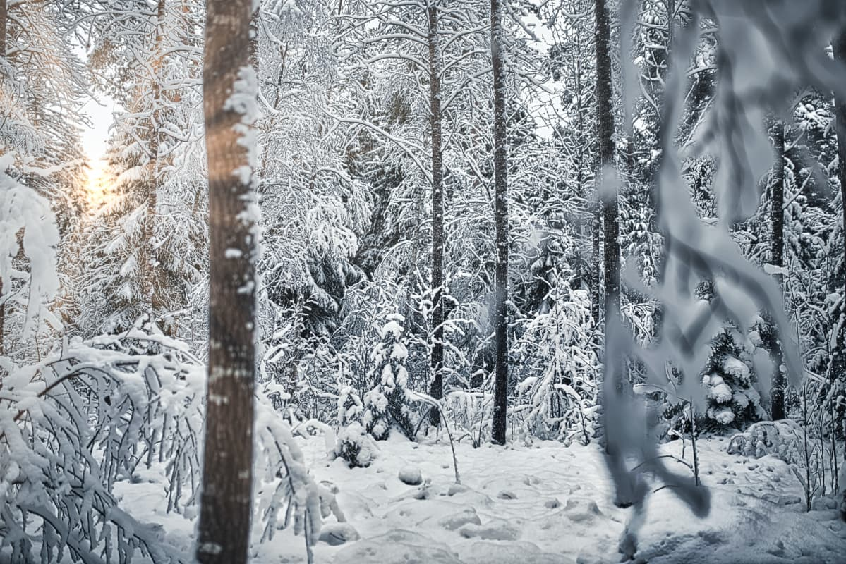 Skog på vintern