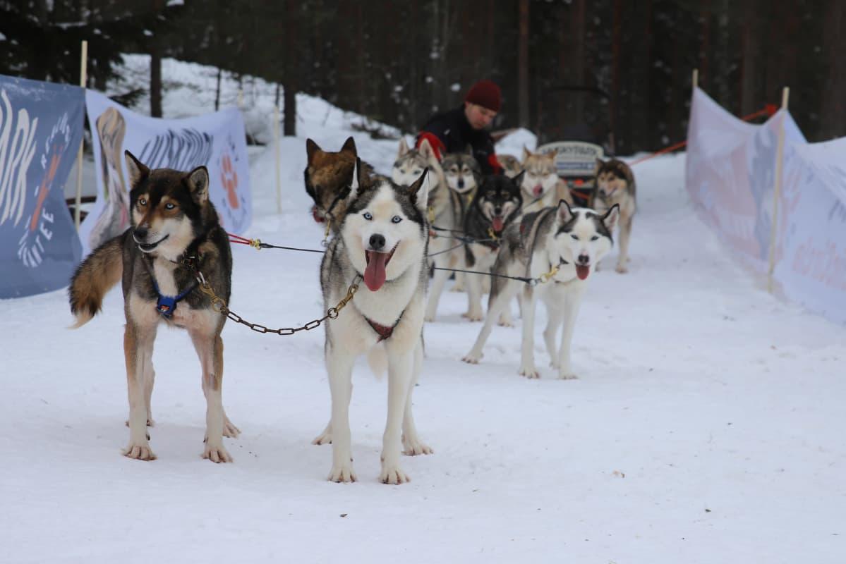 Husky-koiria Kotkan Hurukselassa.