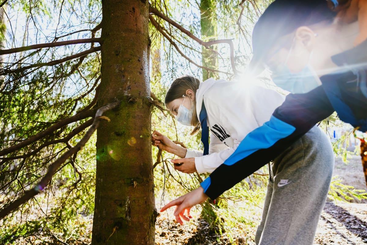Partiolaiset Kerttu Marttinen, 12 ja Jenna Kivisoja, 13 etsivät pihkaa puusta.