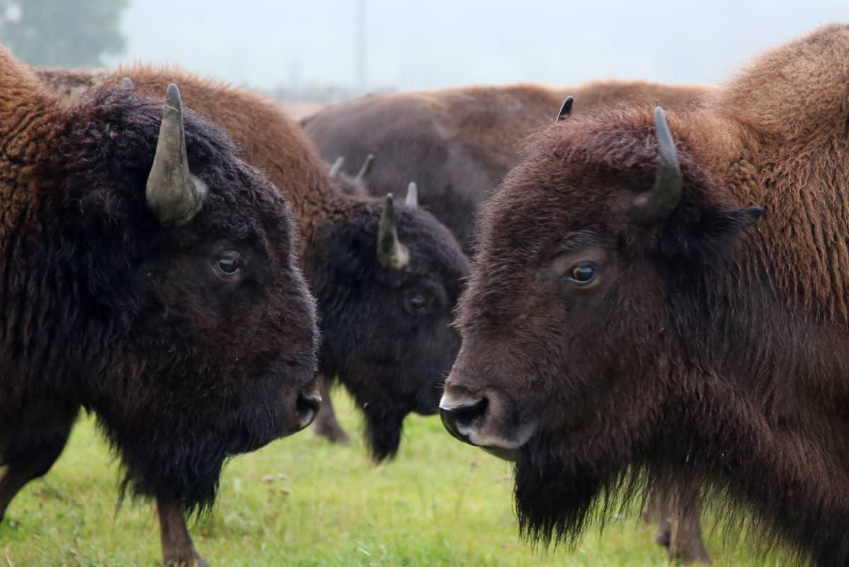 Biisonit olivat vähällä kuolla sukupuuttoon metsästyksen takia. Nyt kanta on elpynyt ja niitä pidetään myös tuotantoeläiminä maatiloilla. Loimaalle biisonit tulivat vuonna 1998.