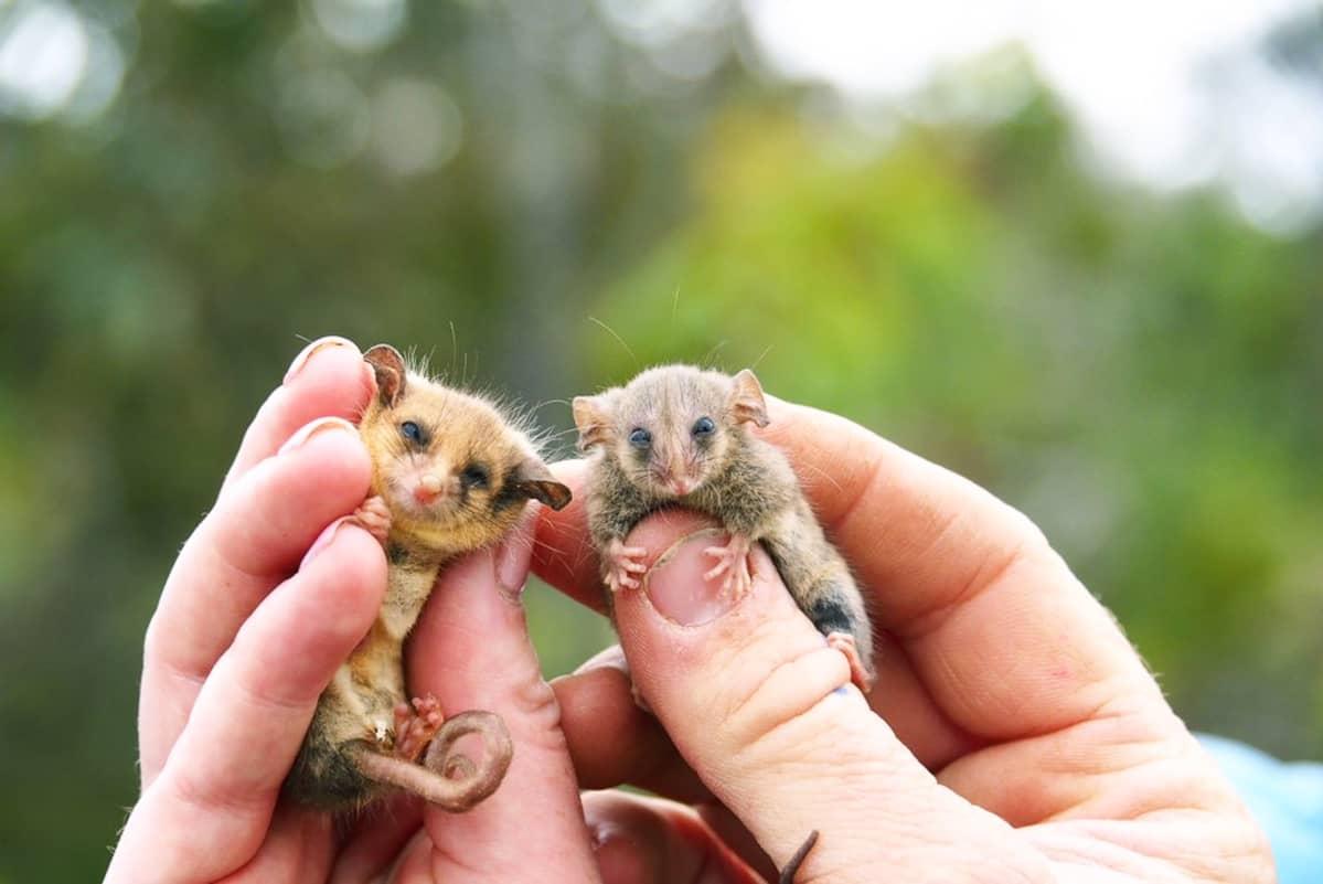 Kaksi pikkueläintä ihmisen sormien välissä.