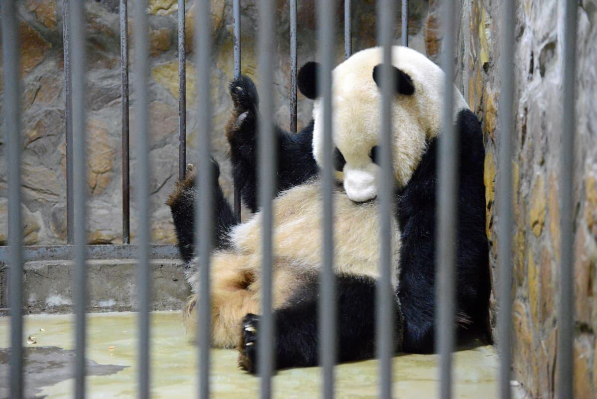Pandat pidetään joka toinen päivä sisähäkissä ja joka toinen päivä ulkohäkissä.