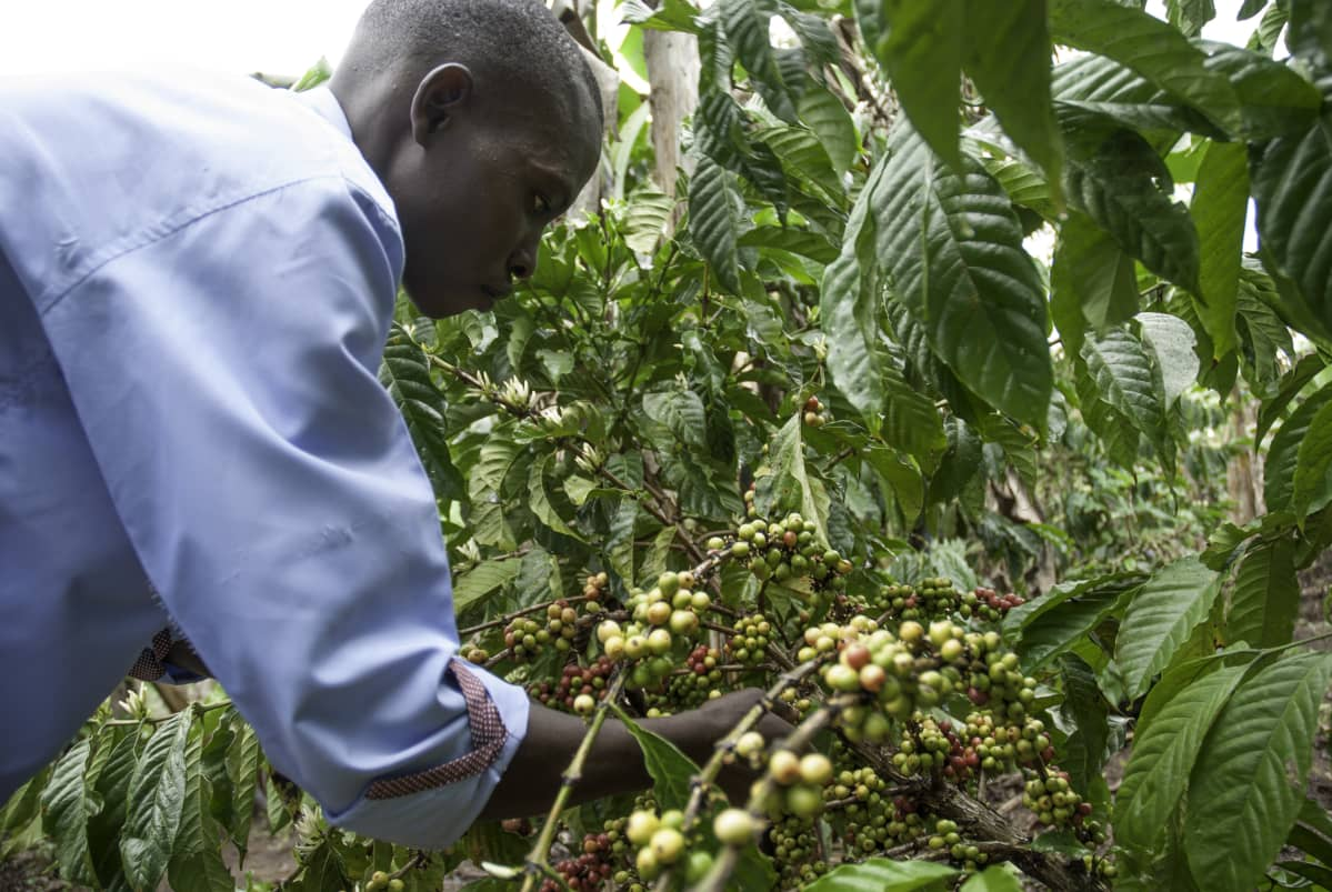 Ugandalainen James Kallyowa poimii kahvia pellollaan Nakasekessa Ugandassa.