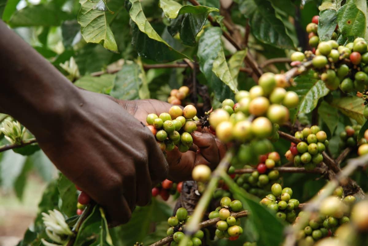 Kahvimarjoja poimitaan kahvipensaasta.