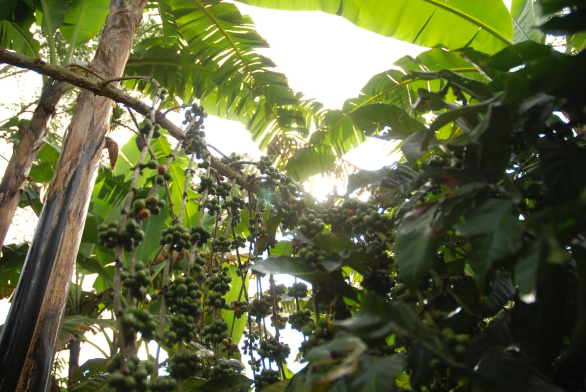 Banaanikasvit varjostavat kahvipensaita.