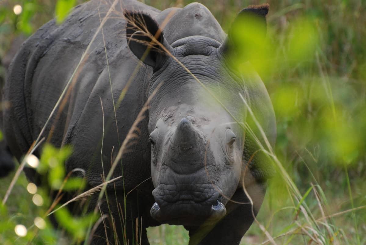 Sarvikuono Ugandassa.
