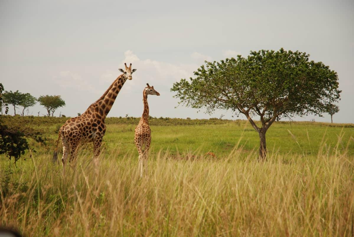 Kaksi kirahvia savannilla.