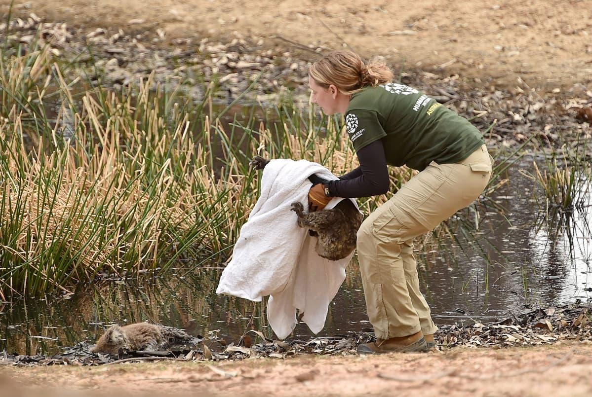 Pelastustyöntekijä nostaa maastopaloissa loukkaantunutta koalaa Australiassa.