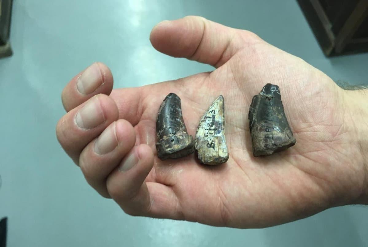 Kolme isoa hammasta tutkijan kämmenellä.