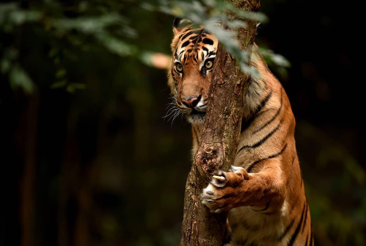 Sumatrantiikeri Melbournen eläintarhassa.