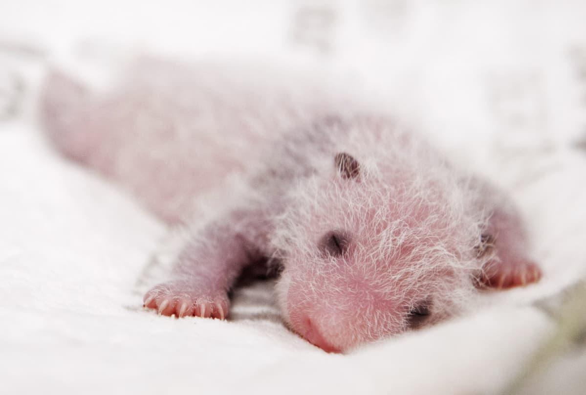 Pandanpoikanen nukkuu.