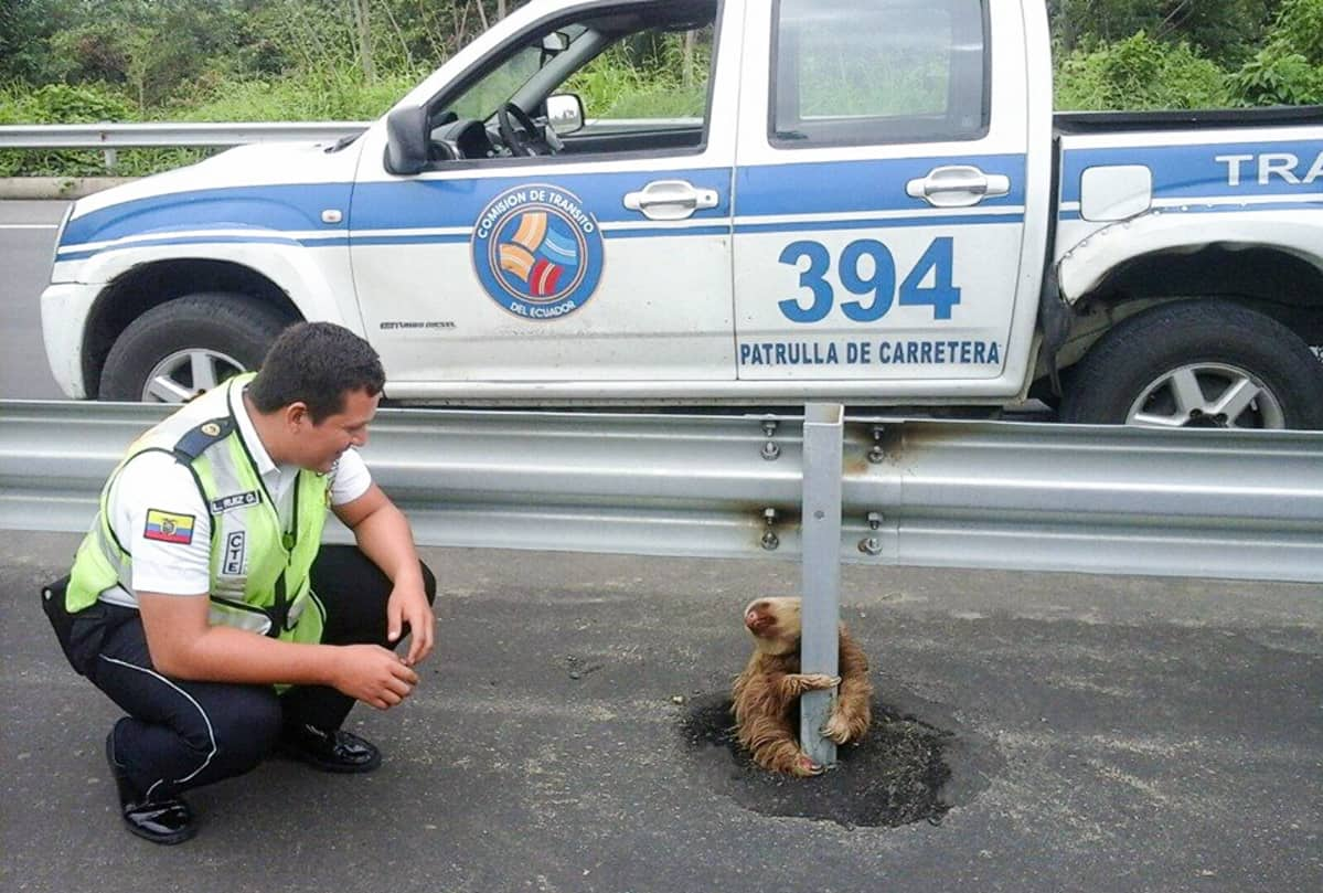 Poliisi kyykkii kaiteen tolppaa halaavan laiskiaisen vieressä.