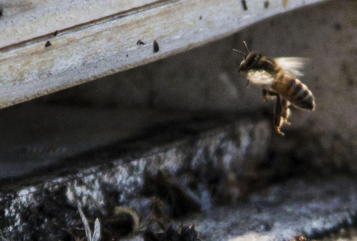 Mehiläinen pesän suulla.