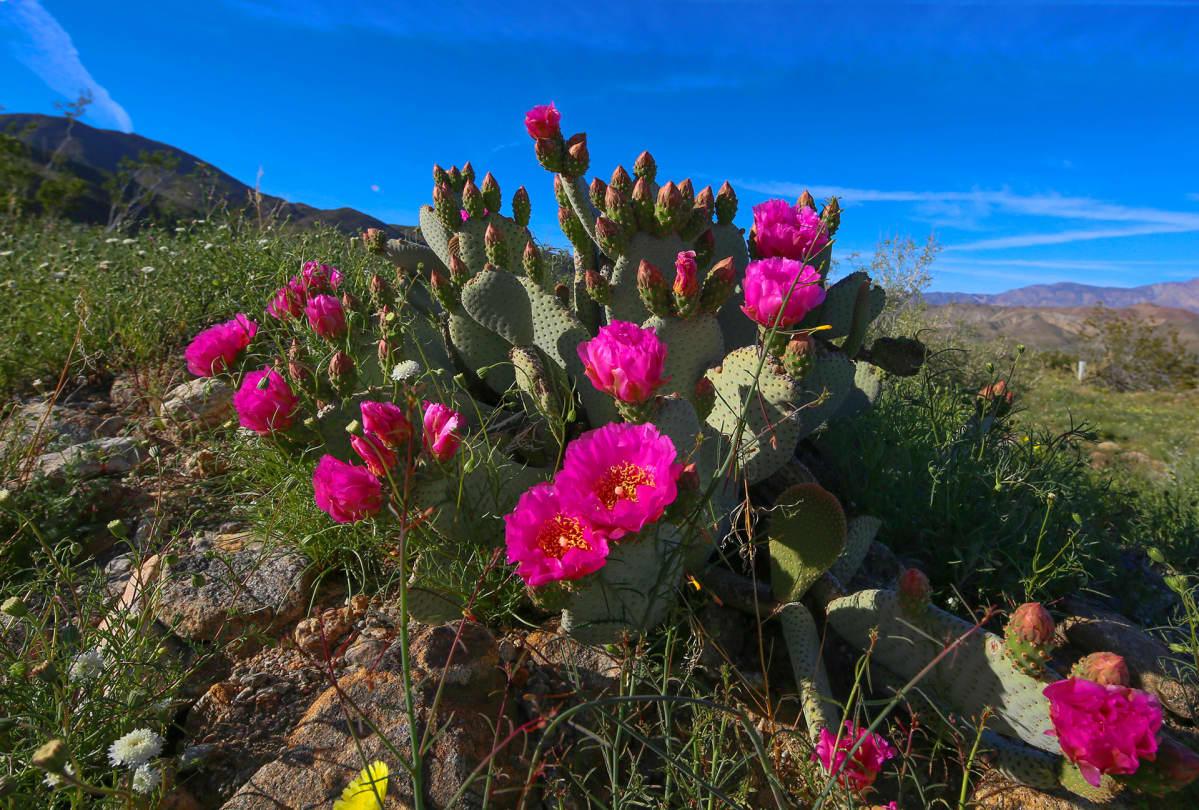 Anza Borrega luonnonpuisto, kukkia.