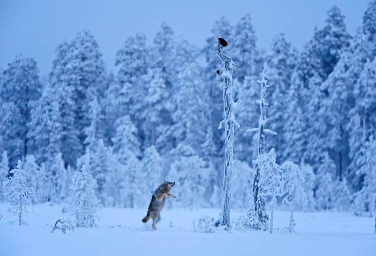 Lassi Rautiaisen Oasis-luontokuvakilpailukuva Suden hyppy.
